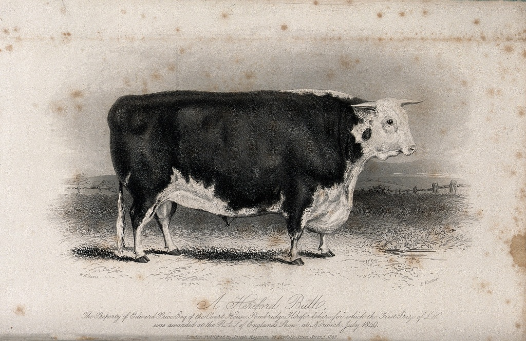 A_Hereford_bull._Etching_by_E._Hacker,_ca_1849,_after_W.H._D_Wellcome_V0021636_k
